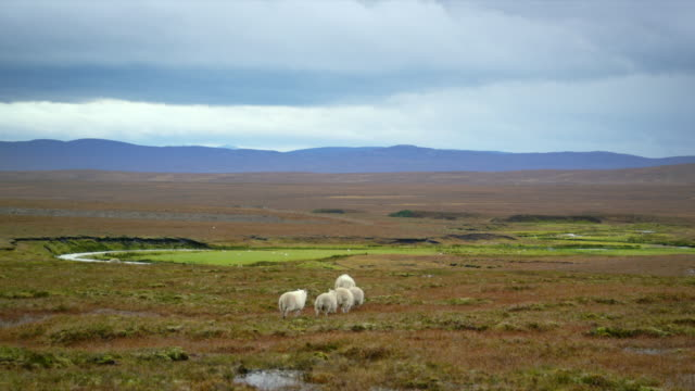 WS View of sheep walking on wide meadows with clouds / Crask Inn, Scotland, United Kingdom