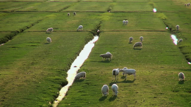 WS HA View of sheep's grassing on salt meadows, North Sea North Frisia / Westerhever / Westerhever, Schleswig Holstein, Germany