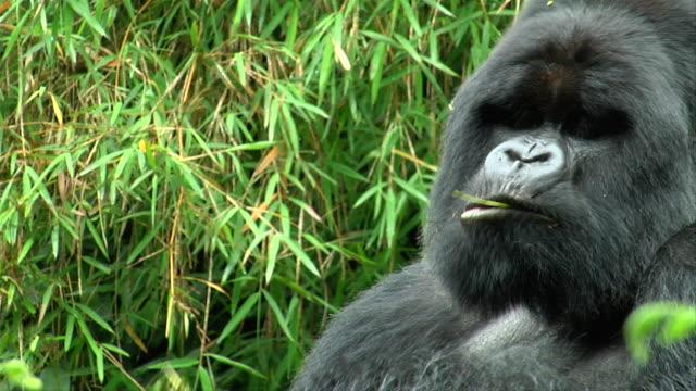 ms view of silverback gorilla eating alone / ruengari, rwanda, rwanda,africa - gorilla stock-videos und b-roll-filmmaterial