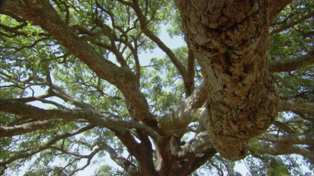 stockvideo's en b-roll-footage met ms td view of single natural oak tree in field under blue sky / alentejo, portugal - schaduw