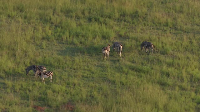ms aerial view of small group of zebras grazing / nelspruit, mpumalanga, south africa - provinz mpumalanga stock-videos und b-roll-filmmaterial