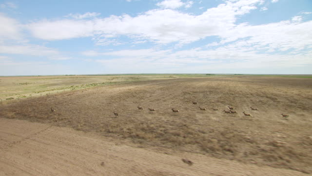 ws aerial view of small herd of mule deer running through fields in gove county / kansas, united states - mule stock videos & royalty-free footage