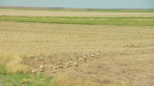 ws aerial zi zo view of small herd of mule deer running through fields in gove county / kansas, united states - mule stock videos & royalty-free footage