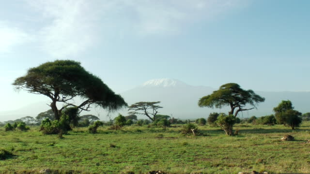 ws view of snow capped mount kilimanjaro in distance with acacia trees in foreground / serengeti, kenya  - acacia tree stock videos & royalty-free footage
