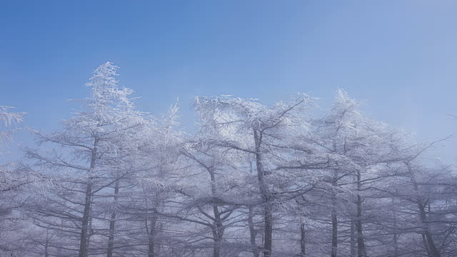WS ZI LA T/L View of snow cover trees swaying in gust at Taegisan mountain with fog / Hoengseong, Gangwon do, South Korea