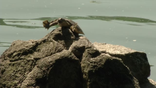 view of softshell turtle stretching on top of a rock on river - animal neck stock videos & royalty-free footage