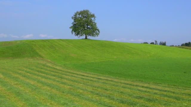 ms aerial tu view of solitary oak tree on hill / wolfratshausen, bavaria, germany - hill stock videos & royalty-free footage