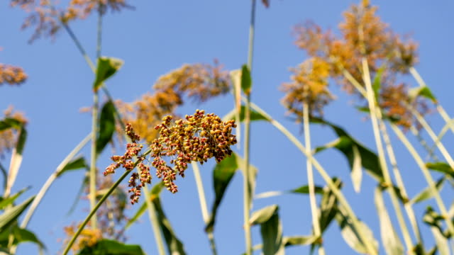 view of sorghum shaking in wind on the autumn season - sorghum stock videos & royalty-free footage