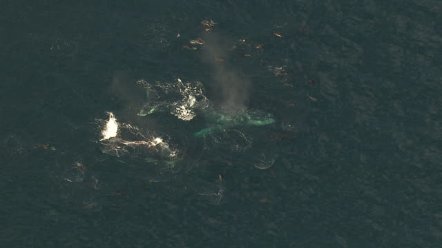 ws aerial ts zi view of southern right whales and common dolphin swimming off coast of western cape / cape town, western cape, south africa - common dolphin stock videos & royalty-free footage