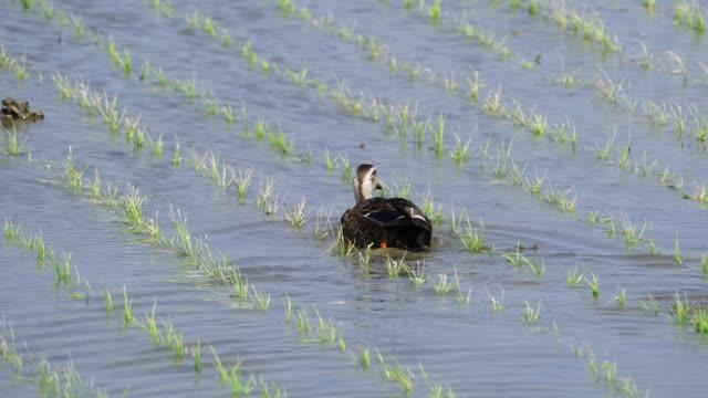 stockvideo's en b-roll-footage met view of spot-billed duck on the field in uljin-gun, kyongsangbuk-do province - zwemvlies