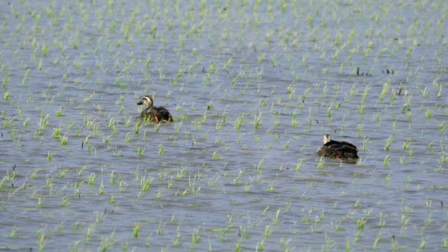 view of spot-billed duck on the field in uljin-gun, kyongsangbuk-do province - north gyeongsang province stock videos & royalty-free footage
