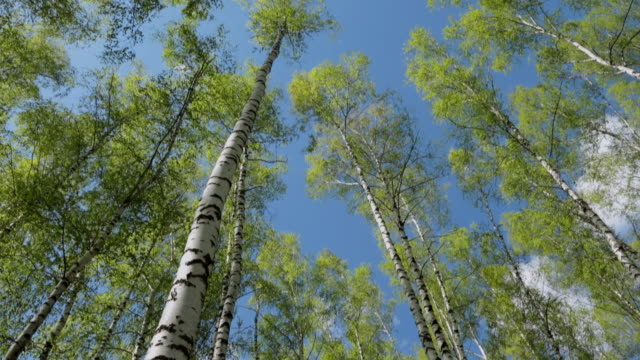 stockvideo's en b-roll-footage met ms la pan view of spring birch grove in sunny day / moscow, russia - berk