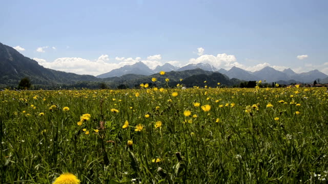 vídeos de stock, filmes e b-roll de ms view of spring flower field / grainau, bavaria, germany  - garmisch partenkirchen