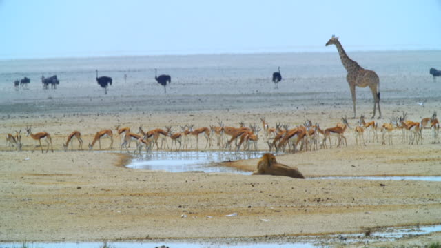 WS View of Springboks, giraffes, Ostriches and lions near waterhole / Etosha National Park, Namibia