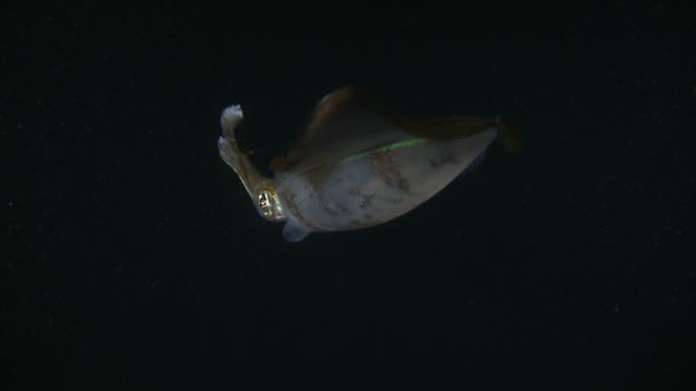 ms view of squid at night / mabul, sabah, malaysia   - mabul island stock videos and b-roll footage