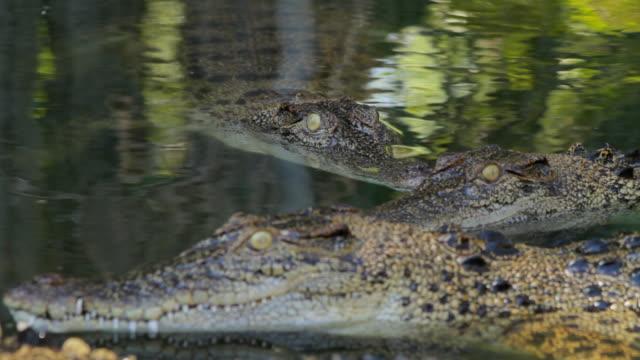 vídeos y material grabado en eventos de stock de ms view of static crocs in water / northern territory, australia - wiese