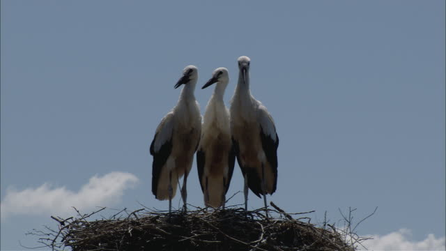 vídeos de stock, filmes e b-roll de cu view of storks nest with three young birds / kerkini, serres, greece - um do lado do outro