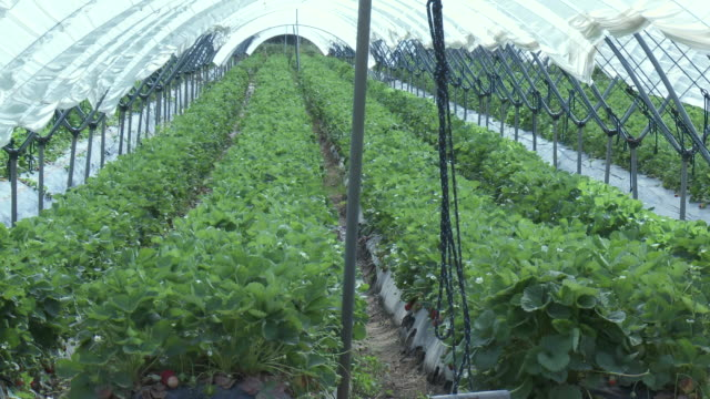 ms view of strawberry field / huelva, andalusia, spain       - huelva province stock videos & royalty-free footage