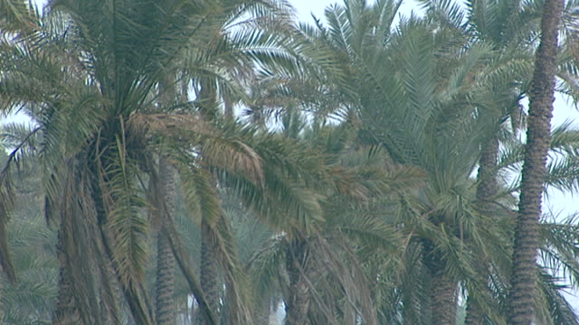 vidéos et rushes de view of strong breeze swaying palm fronds in a palm grove on the bank of the euphrates river. al-qurnah is where the tigris and euphrates join to... - fronde
