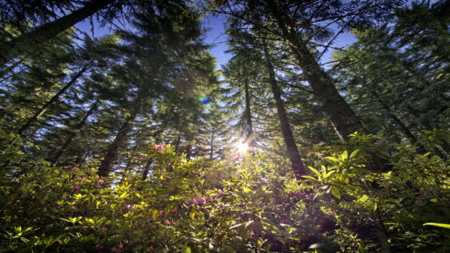 ws t/l view of sun moving across sky behind forest and flowers / cape blanco state park, oregon, united states - oregon us state stock videos & royalty-free footage