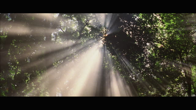ws pan view of sunbeams through tree branches in rainforest - パン効果点の映像素材/bロール