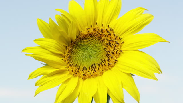 vídeos de stock e filmes b-roll de view of sunflower blowing in a lite breeze on a sunny day - estame
