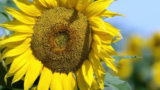 view of sunflower blowing in a lite breeze on a sunny day - ståndare bildbanksvideor och videomaterial från bakom kulisserna