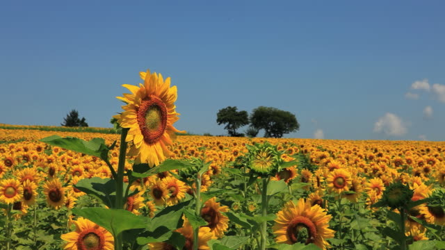 ws view of sunflower field against blue sky / furano, hokkaido, japan - ヒマワリ点の映像素材/bロール