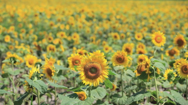 stockvideo's en b-roll-footage met ms view of sunflower field / furano, hokkaido, japan - gewas