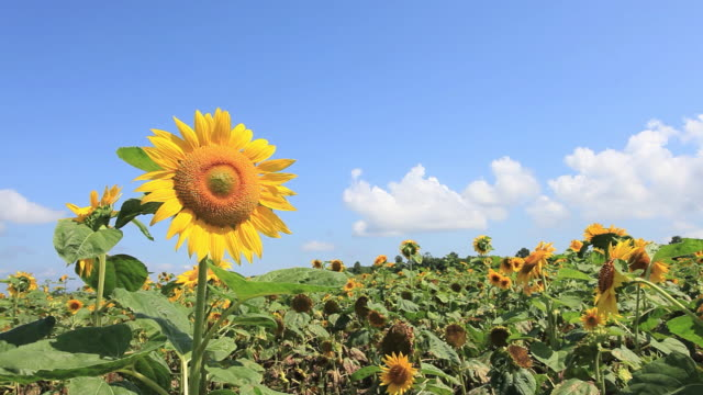 ms view of sunflower field / furano, hokkaido, japan - sunflower stock videos and b-roll footage