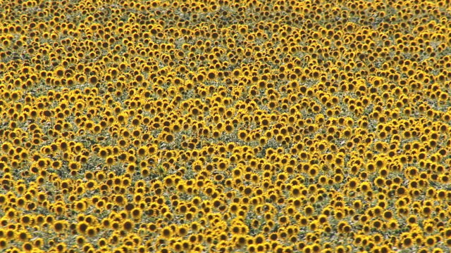 ms aerial zo view of sunflower field / polokwane, north west province, south africa - sunflower stock videos and b-roll footage