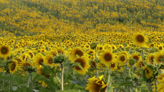 vídeos de stock e filmes b-roll de ms view of sunflowers in field / huelva, andalusia, spain - estame