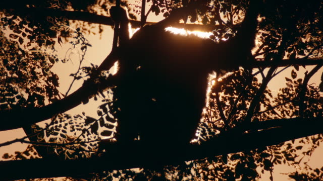 view of sunset and silhouette of gibbon (hylobatidae) sitting a tree in sumatra island, indonesia - dusk stock videos & royalty-free footage
