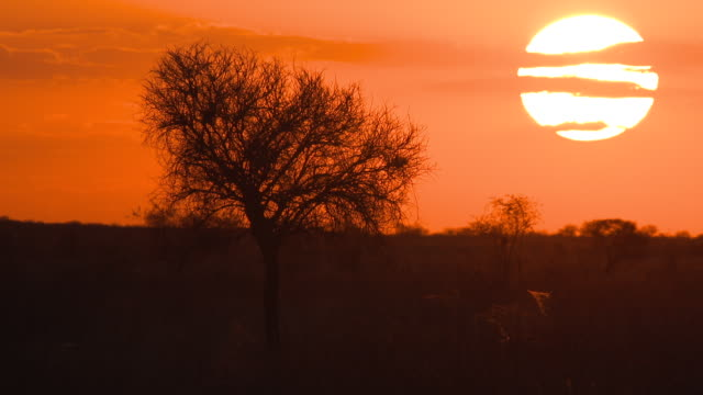 WS T/L View of Sunset with tree  / Central Kalahari Game Reserve, Botswana