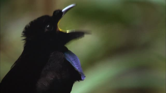 view of superb-bird-of-paradise's head and face, papua new guinea - mating stock videos & royalty-free footage