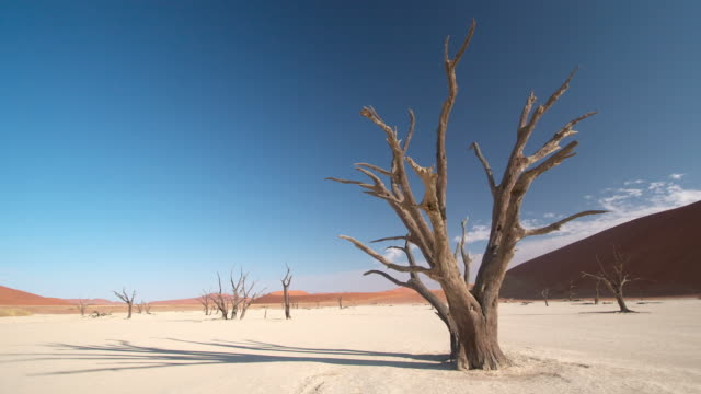 stockvideo's en b-roll-footage met ws t/l view of surreal landscape with bare skeletal trees, immense red dunes beyond, saltflat intense blue sky / sossusvlei, windhoek, namibia  - namibië