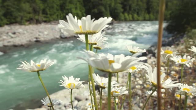CU View of Swaying daisies in Squamish River forest / Squamish, British Columbia, Canada