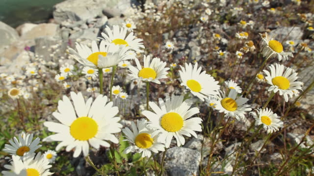 vídeos de stock e filmes b-roll de ms view of swaying daisies in squamish river forest / squamish, british columbia, canada - estame