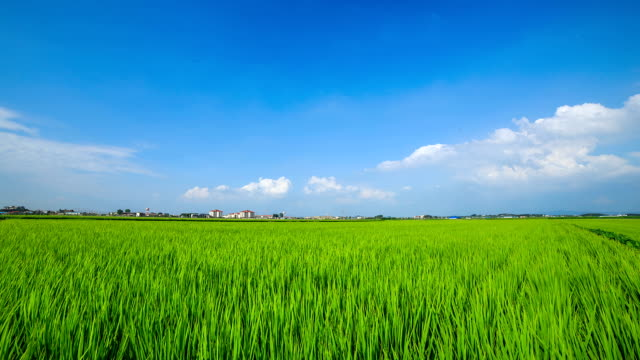 View of swaying rice(Cereal Plant) and blue sky