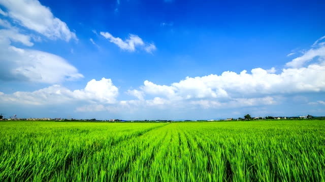 view of swaying rice(cereal plant) and flowing cumulus clouds against blue sky - cereal plant stock-videos und b-roll-filmmaterial