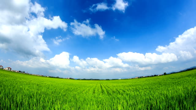 View of swaying rice(Cereal Plant) and flowing cumulus clouds against blue sky