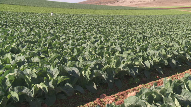 WS View of Swiss Chard growing in field at Cabo de Gata Natural Park / Nijar, Andalusia, Spain