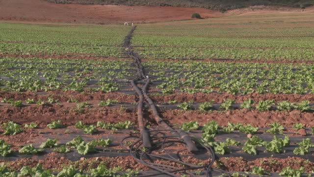 WS View of Swiss Chard growing in field Rows of irrigation line at Cabo de Gata Natural Park / Nijar, Andalusia, Spain