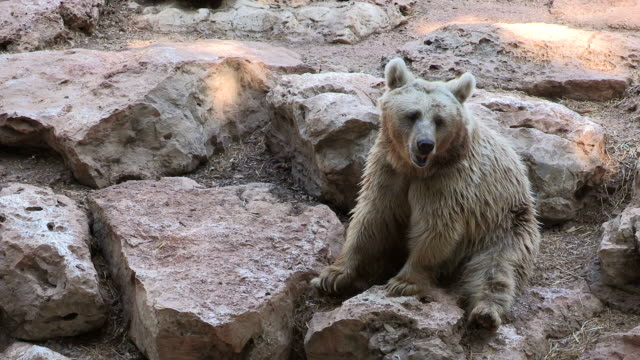 MS View of Syrian brown bear (Ursus arctos syriacus) Sitting among rocks in captivity / tel aviv, Israel