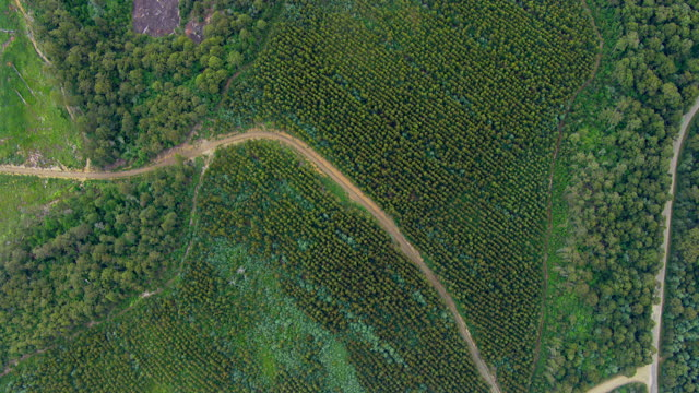 MS AERIAL View of tall trees in wooded area / Tasmania, Australia