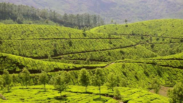 ws view of tea plantation tea plantation / munnar, kerala ,india - plantation stock videos & royalty-free footage