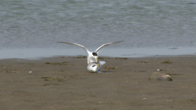 View of tern mating near riverside in South Korea