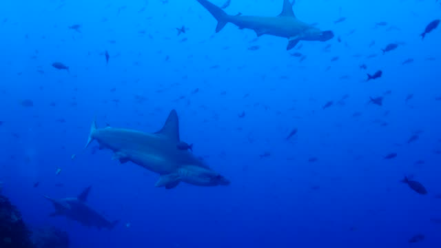 view of the group of scalloped hammerhead shark in galapagos islands - tail fin stock videos & royalty-free footage