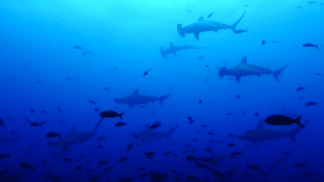 View of the group of Scalloped Hammerhead Shark in Galapagos Islands