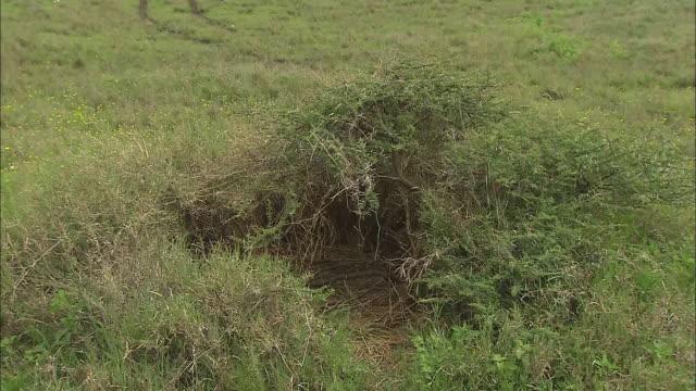 vídeos de stock e filmes b-roll de view of the lion's cave in serengeti national park, tanzania - criação animal